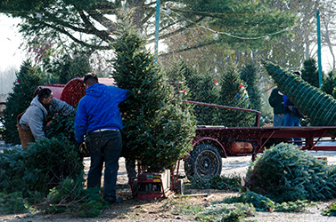 Christmas Tree Collection Services around London