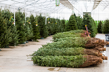 Christmas trees ready for delivery